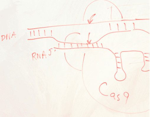 Drawing of Cas9 bound to RNA and DNA on a whiteboard