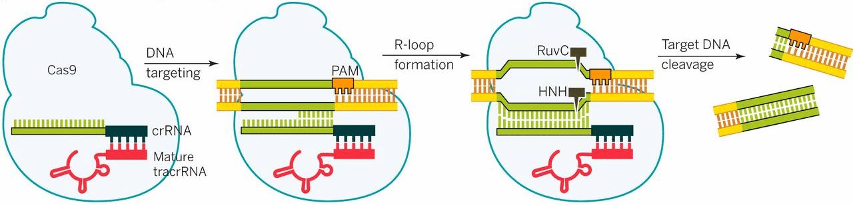 Cartoon schematic of CRISPR-Cas9 cutting DNA