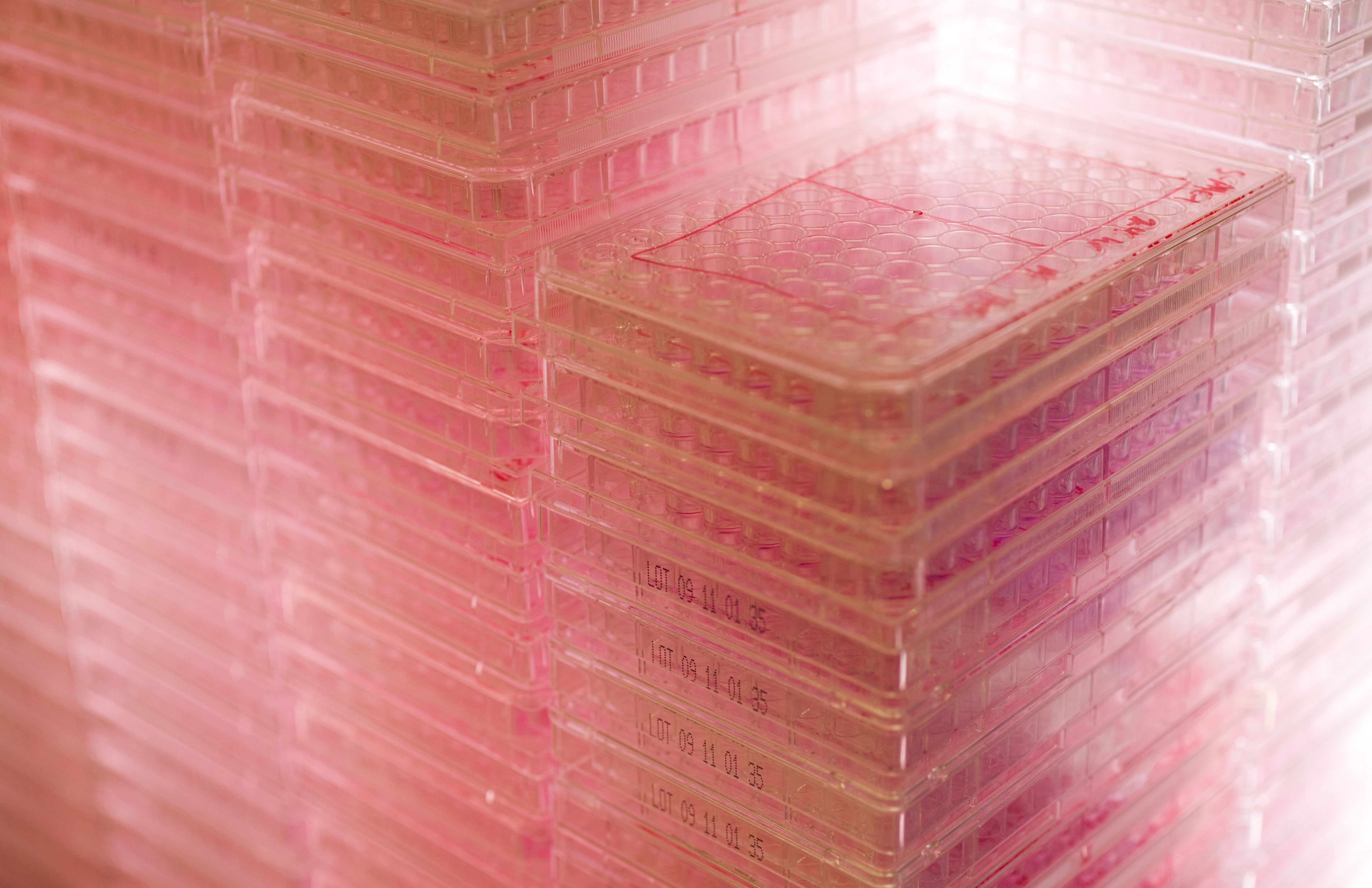 96-well trays filled with pink media