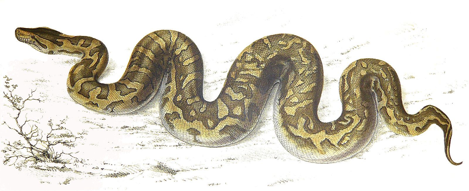 Drawing of a python