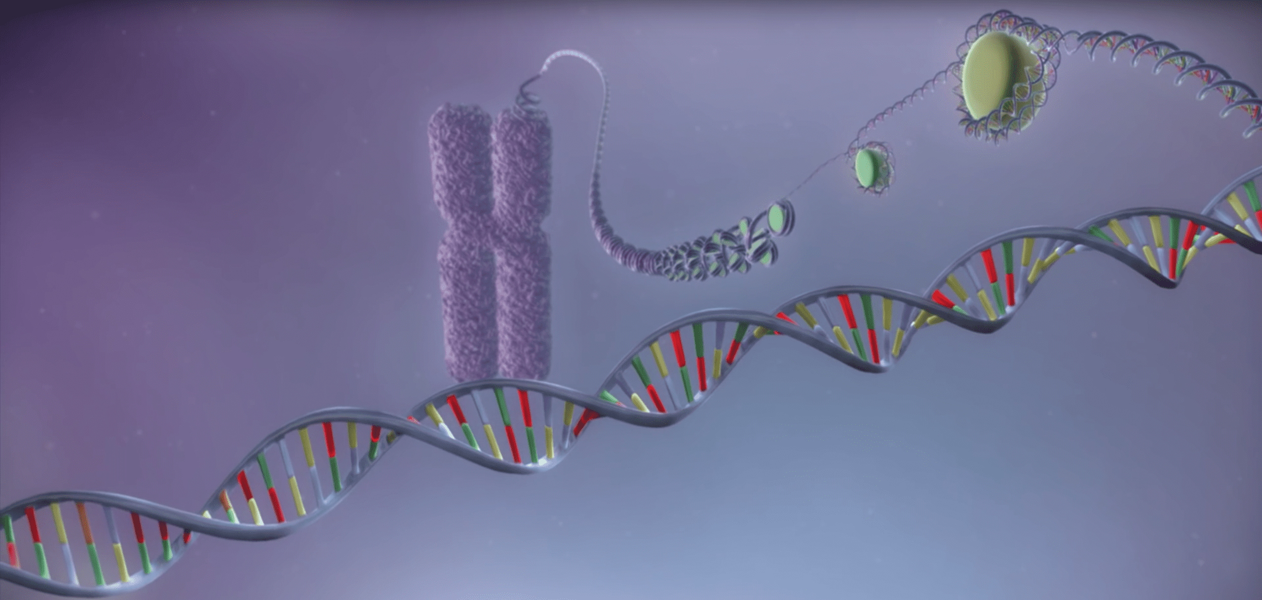 Cartoon represenation of DNA wrapped around a histone forming a chromosome