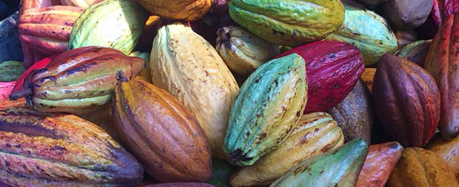 Cacao fruit of different colors
