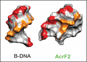 Anti-CRISPR protein mimicking structure of DNA