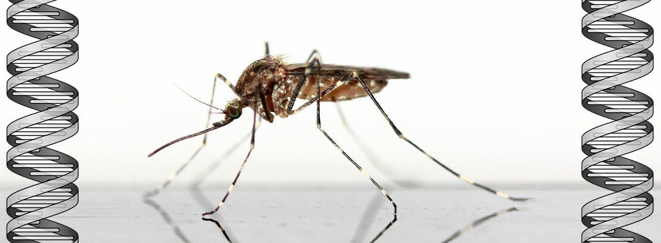 Mosquito standing on a table with DNA double helix