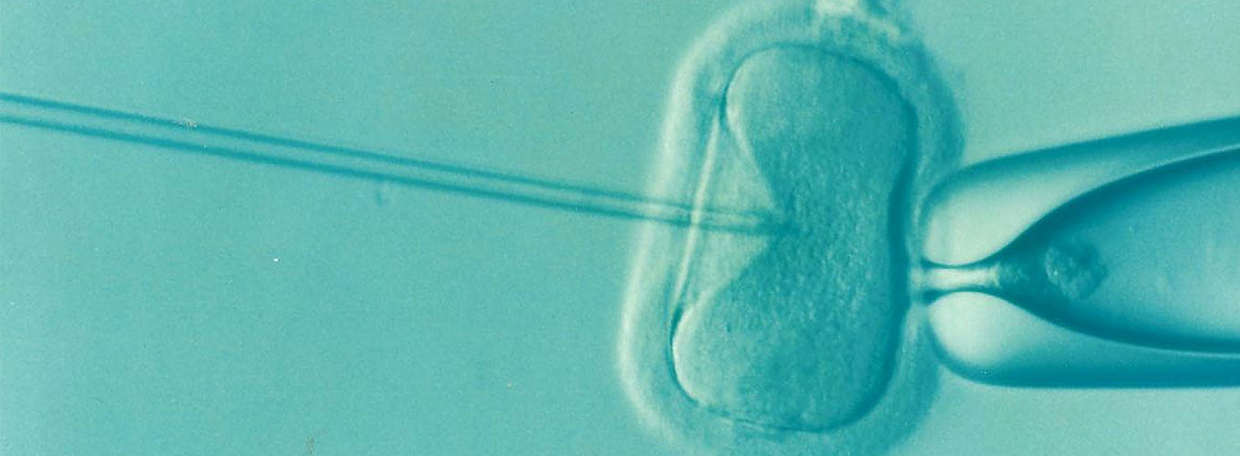 An oocyte or egg is injected with sperm during an in vitro fertilization procedure