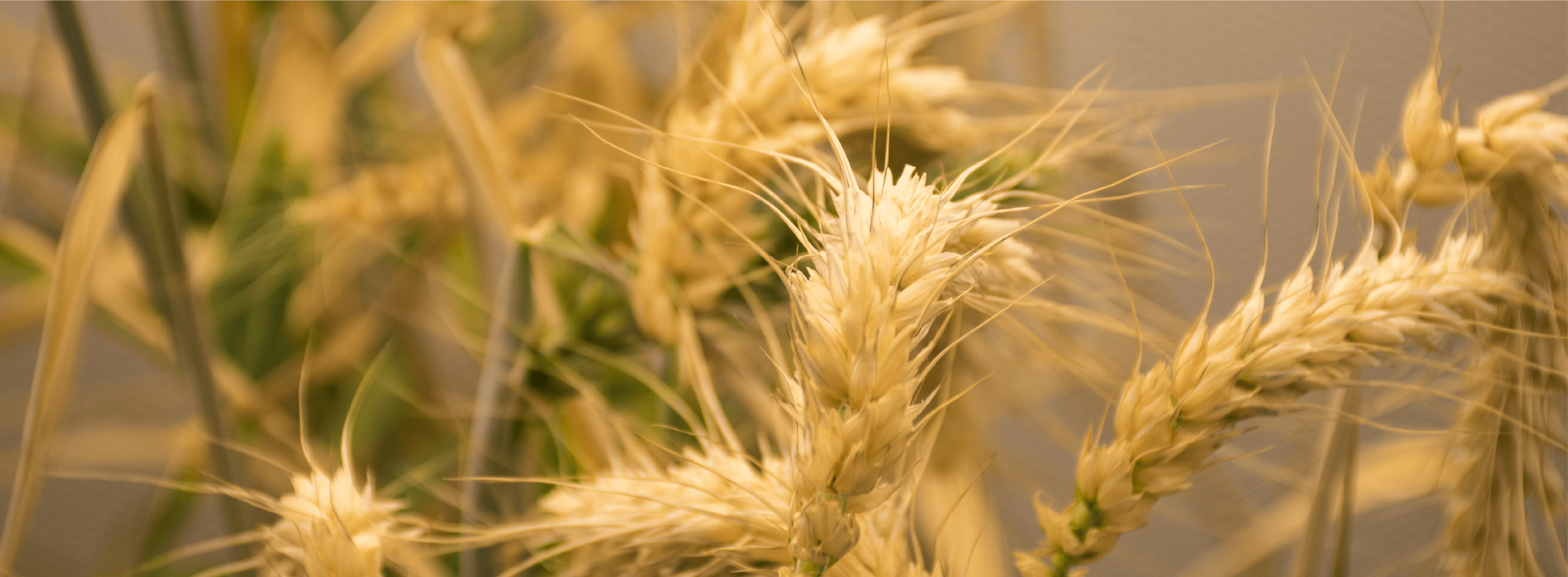 Gold colored wheat plant
