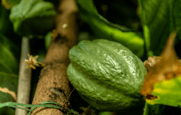 Cacao tree with green cacao fruit