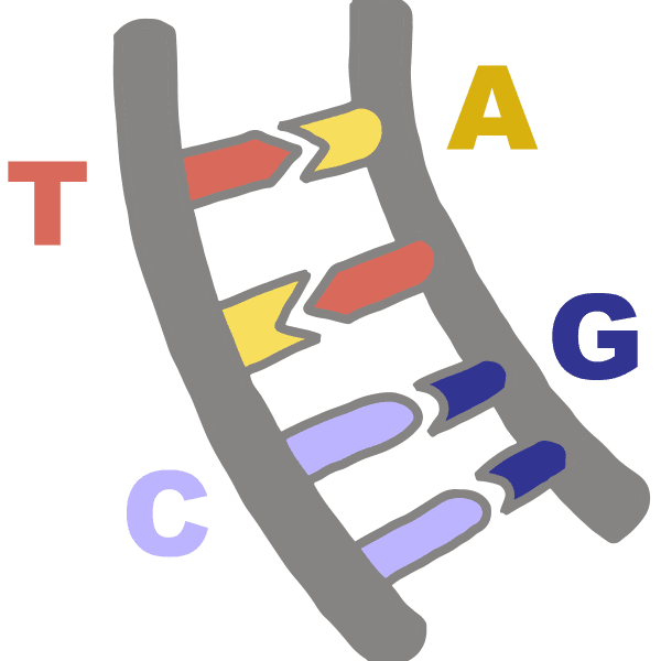 Image of DNA bases pairing with their complementary base, Adenine base pairs with Thymine and Guanine base pairs with Cytosine