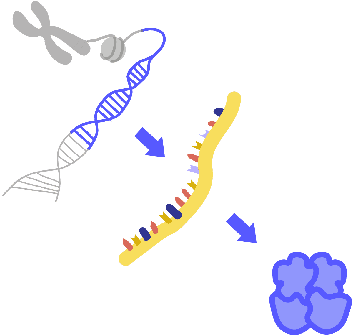 Image of gene expression. Starting with a gray chromosome, DNA nucleosomes are acetylated and chromatin is exposed. The chromatin then exposes a DNA segment that is translated into RNA to then be transcribed into a protein.