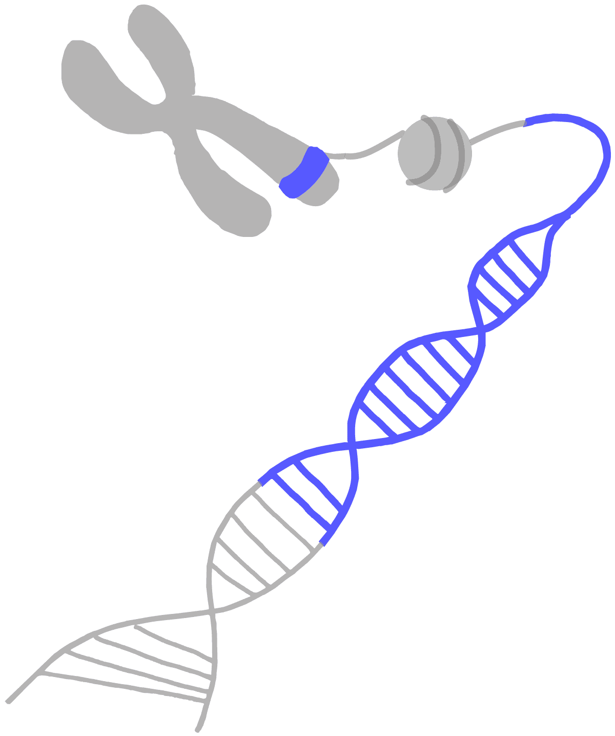 Image of a blue gene on a chromosome. The chromosome is unwound to expose nucleosomes for acetylation to ultimately expose DNA for transcription.