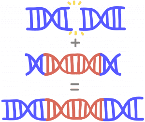 Image of homology directed repair. An initial blue DNA is cleaved in half, and its homologue is able to insert the missing DNA piece.