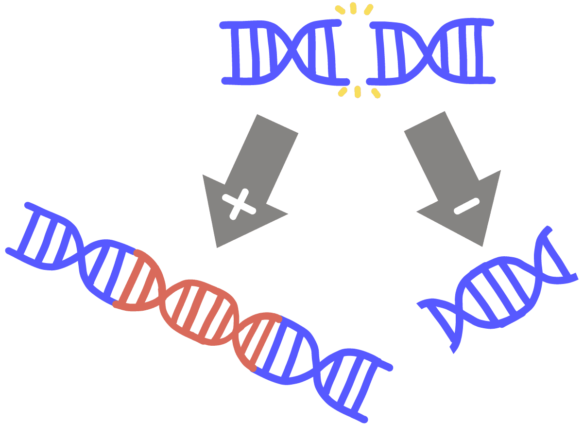 Image of an insertion-deletion mutation. An arrow with a plus sign points at a longer DNA that has had a red fragment inserted. Another arrow with a minus sign points at a shorter DNA with a deleted DNA fragment.