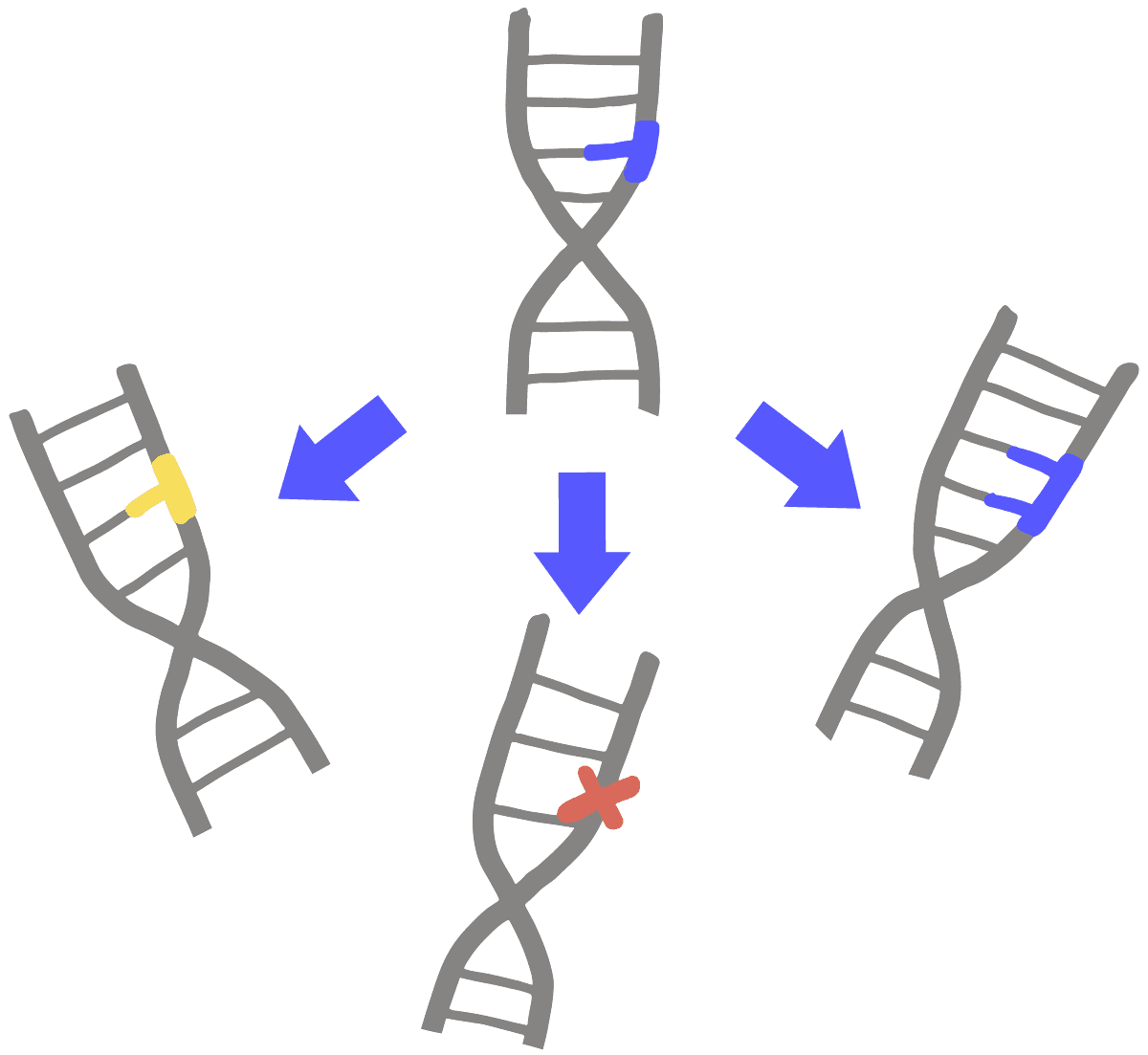 Image of three types of mutations in DNA. A DNA that has had its initial blue base changed to a yellow base represents base-substitution mutations. The DNA that has had its initial blue base changed to a red cross represents a deletion mutation. The DNA that has had its initial blue base changed to two blue bases represents an insertion mutation.