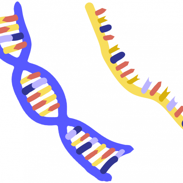 Image of two different nucleic acids. A blue, double stranded Deoxyribonucleic acid and a yellow, single stranded Ribonucleic acid