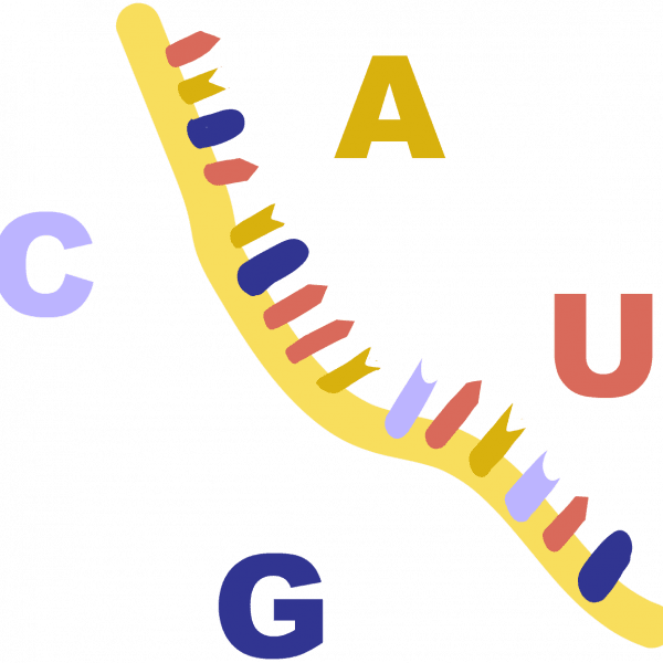 Image of a yellow, single-stranded RNA with its bases Adenine, Cytosine, Guanine and Uracil.