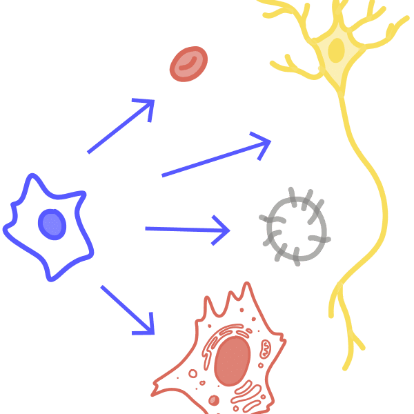 Image of a stem cell transforming into different types of cells including a red blood cell, a nerve cell, a somatic cell and a germ cell.