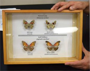 Hands holding a case with four butterflies inside