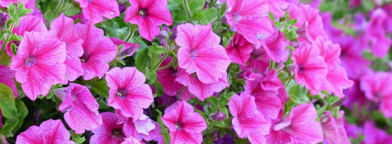 Pink flowers of Solanaceae plants