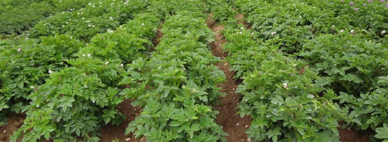 Field of potato plants