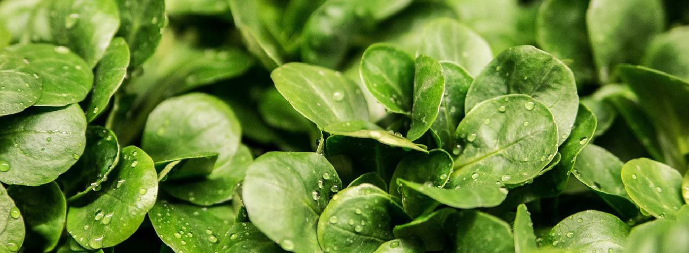 Leaves of green vegetables in a salad