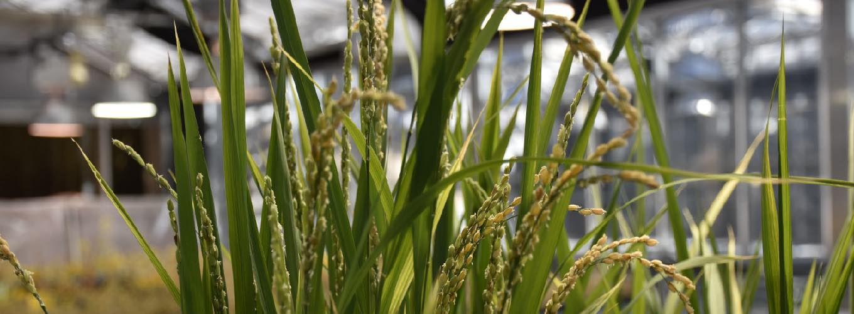 Rice plants in a field
