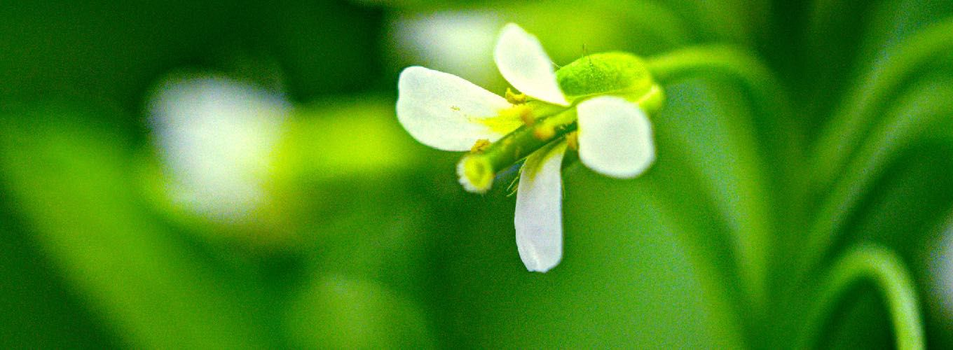 Arabidopsis thaliana flower