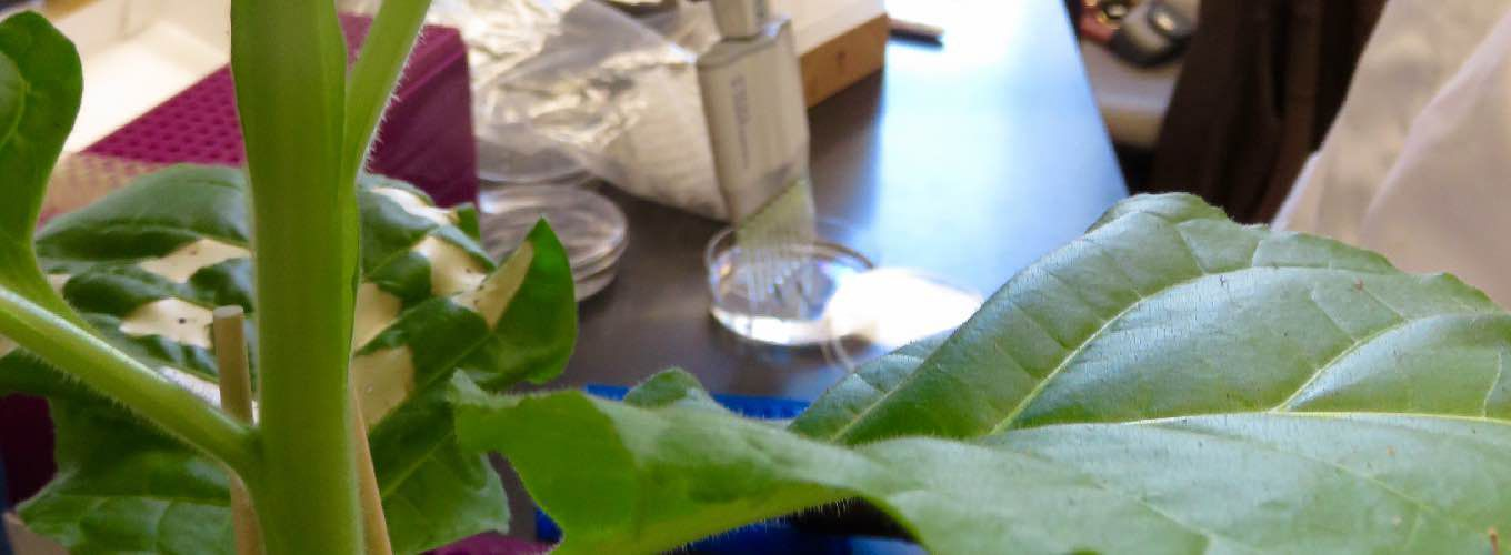 Green plant with scientist pipetting in the background