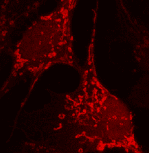 Squirrel brain cells with glowing red fluorescent mitochondria