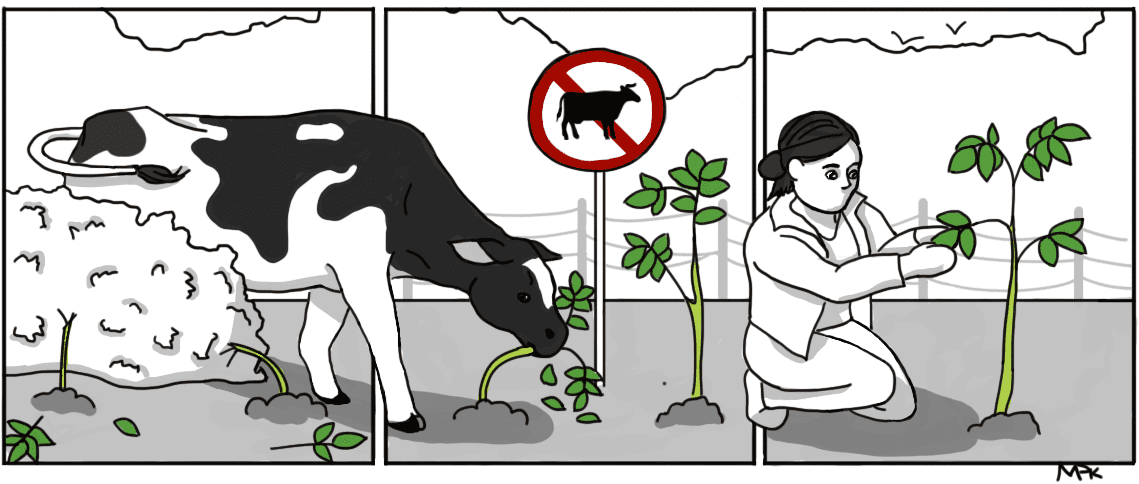 A cartoon comic panel depicting a cow eating a plant that is positioned behind a researcher in a field