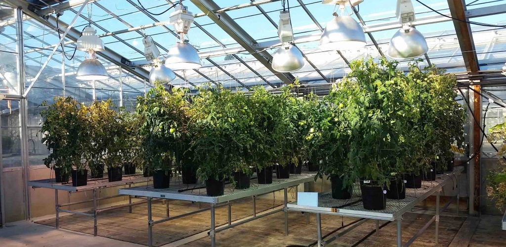 Wild type and transgenic tomatoes in the greenhouse