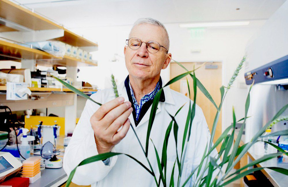 Professor Brian Staskawicz in a lab looking at wheat