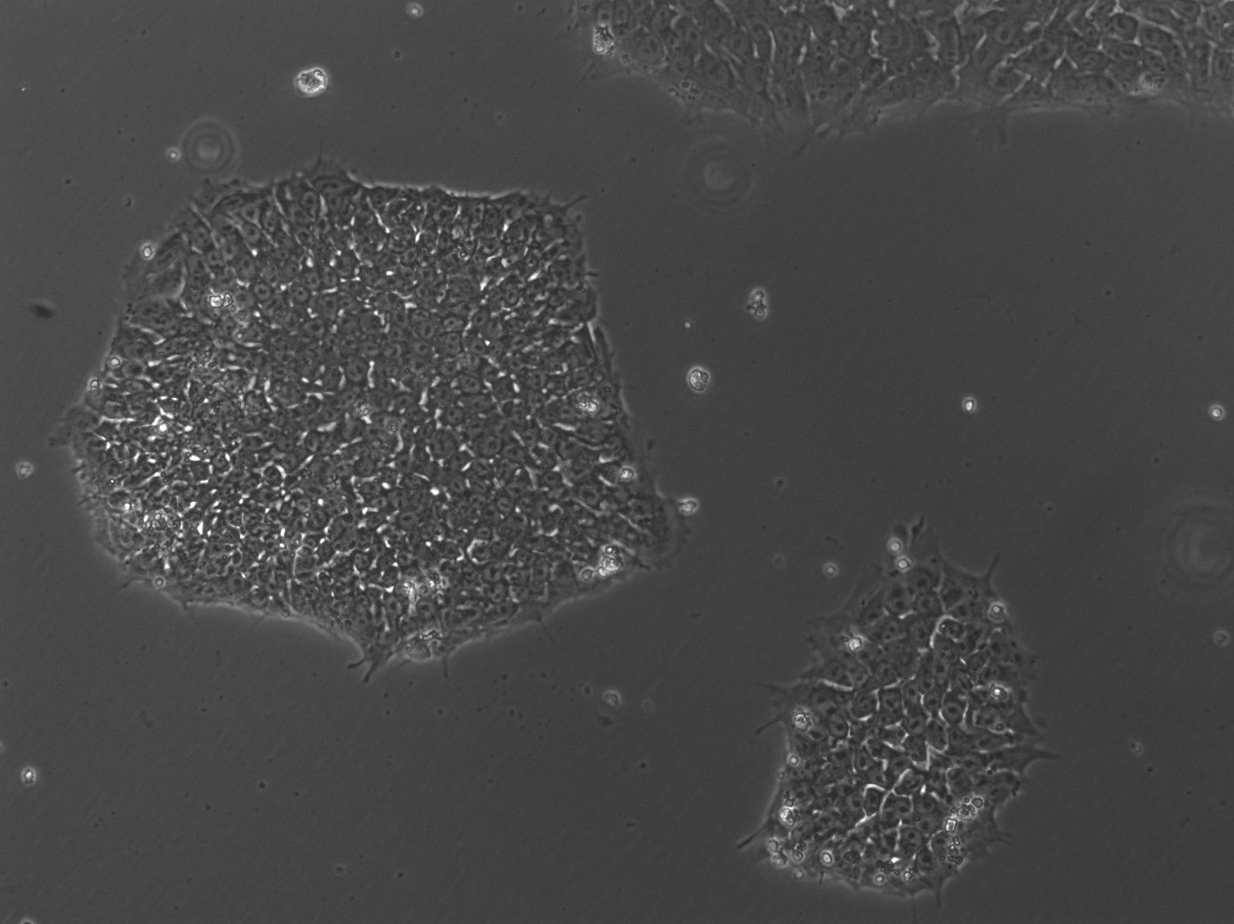 Human induced pluripotent stem cells (hiPSCs).