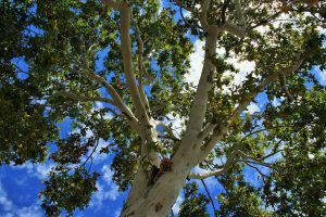 Cottonwood tree in front of a blue sky