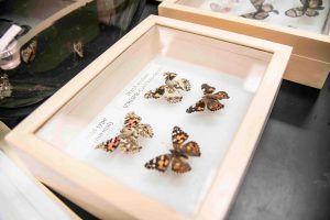 butterflies in a wooden box