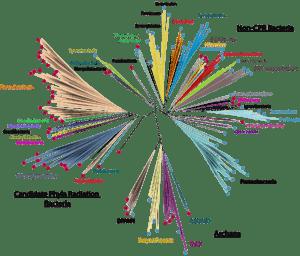 Phylogenetic tree of prokaryotic life