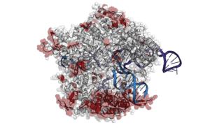 Cartoon representation of Cas9 bound to DNA and RNA