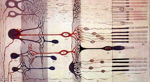 Treating genetic blindness with CRISPR. Drawing of retinal neurons by Santiago Ramón y Cajal