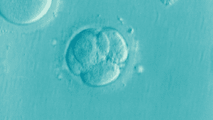 Human embryo made of four cells