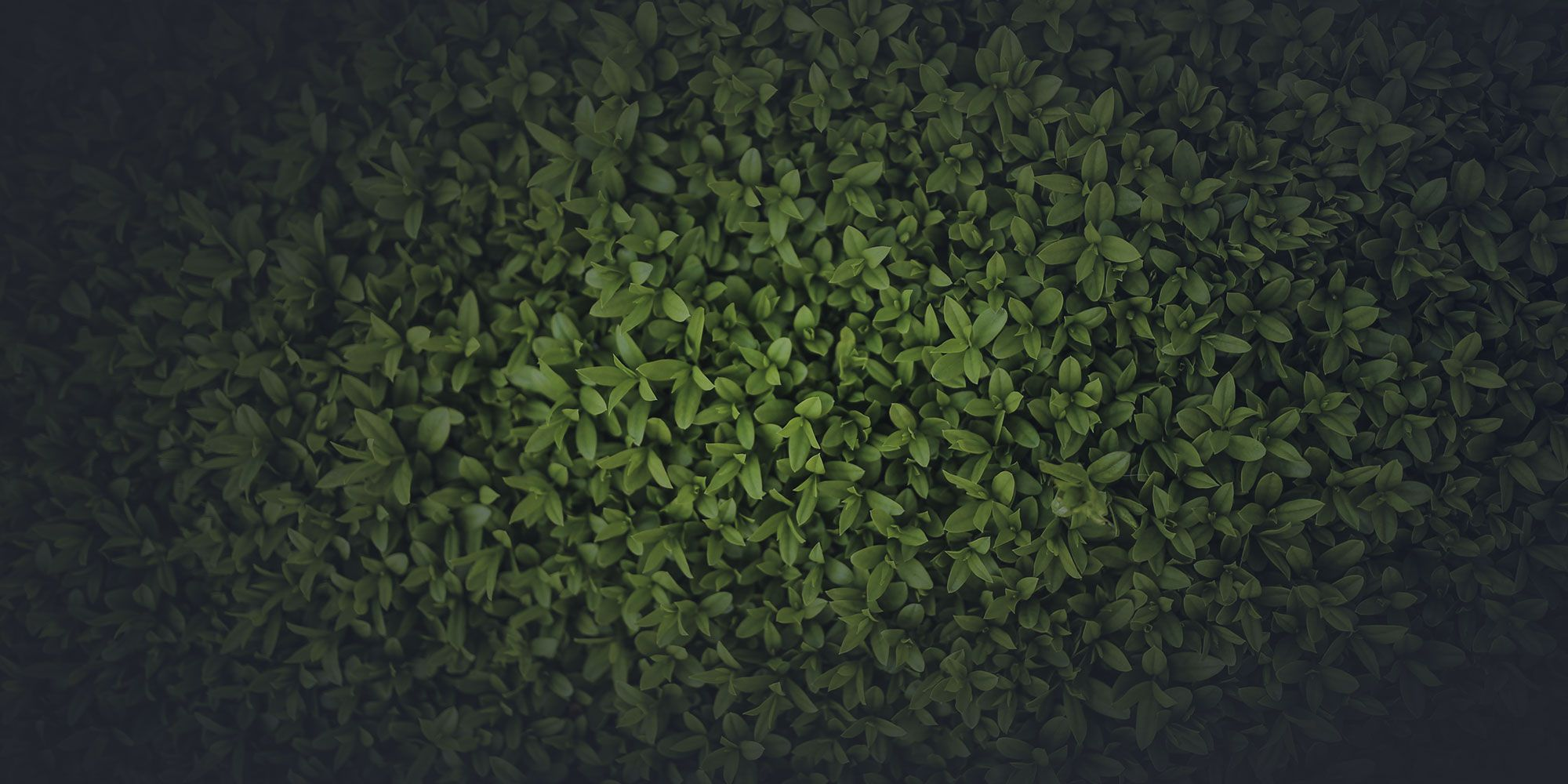 Dense green leaves