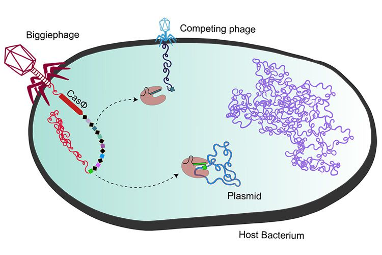 Megaphage injecting DNA into host bacterium