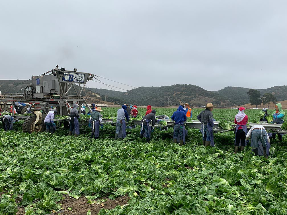 Farmworkers in the lettuce field in Salina Valley, CA. Studying COVID-19 and California farmworkers can take place in the field and in living quarters.