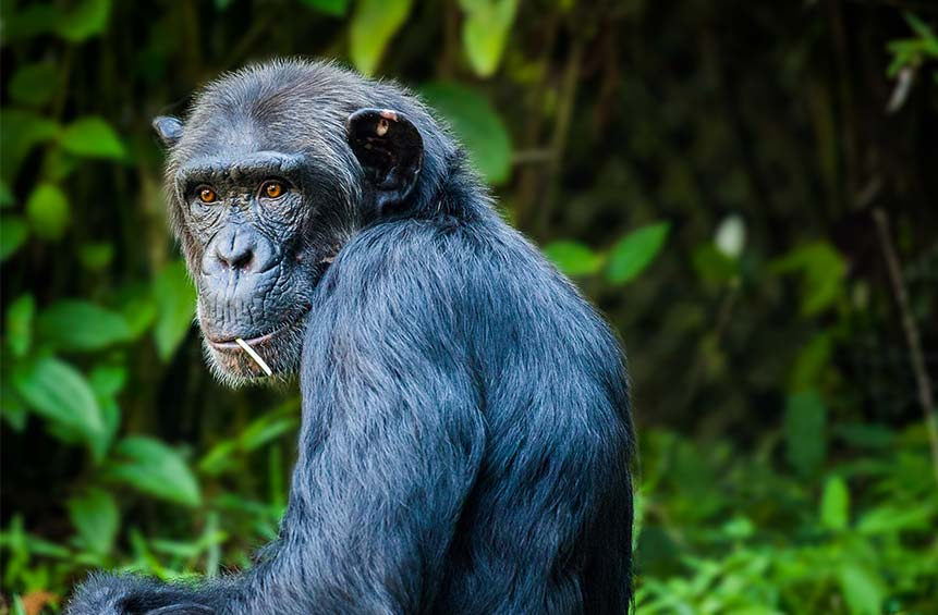 Chimpanzee sitting in a forest