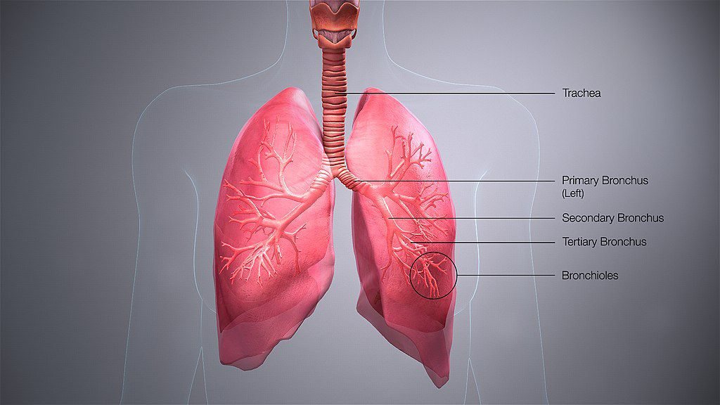 Illustration of the respiratory tract