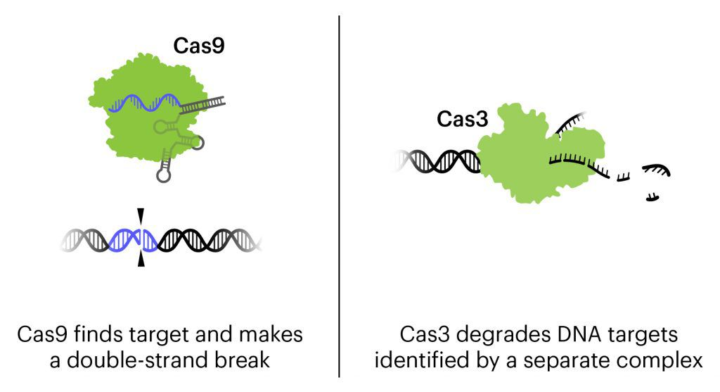 illustration of mechanism of action of Cas9 vs Cas3