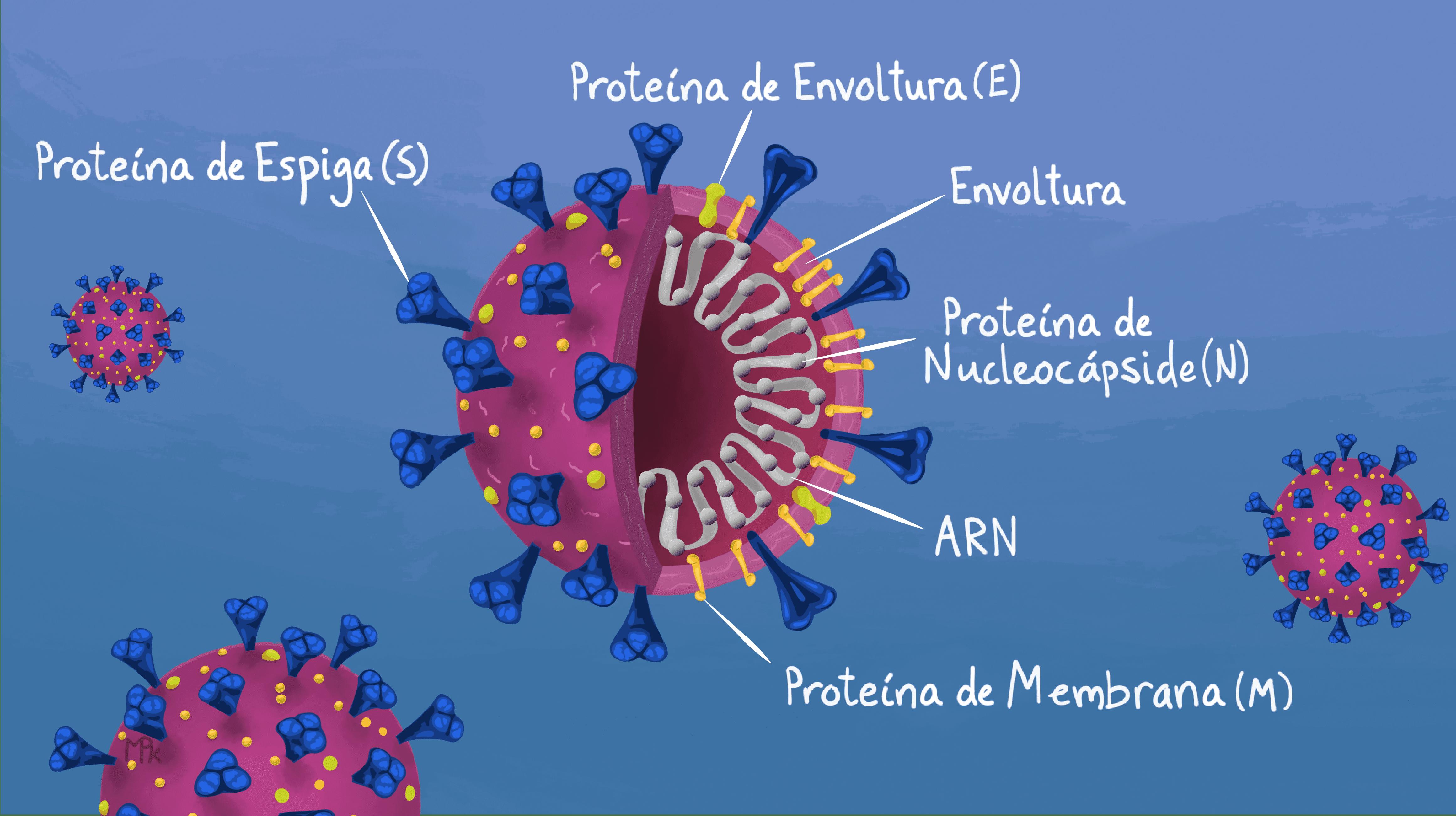 Ilustración gratuita de la anatomía del SARS-Cov-2