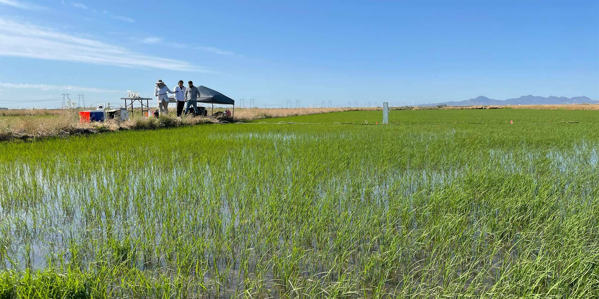 Jill Banfield and colleagues in a rice field