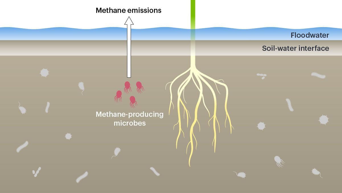 Illustration of methane-producing microbes and rice plant
