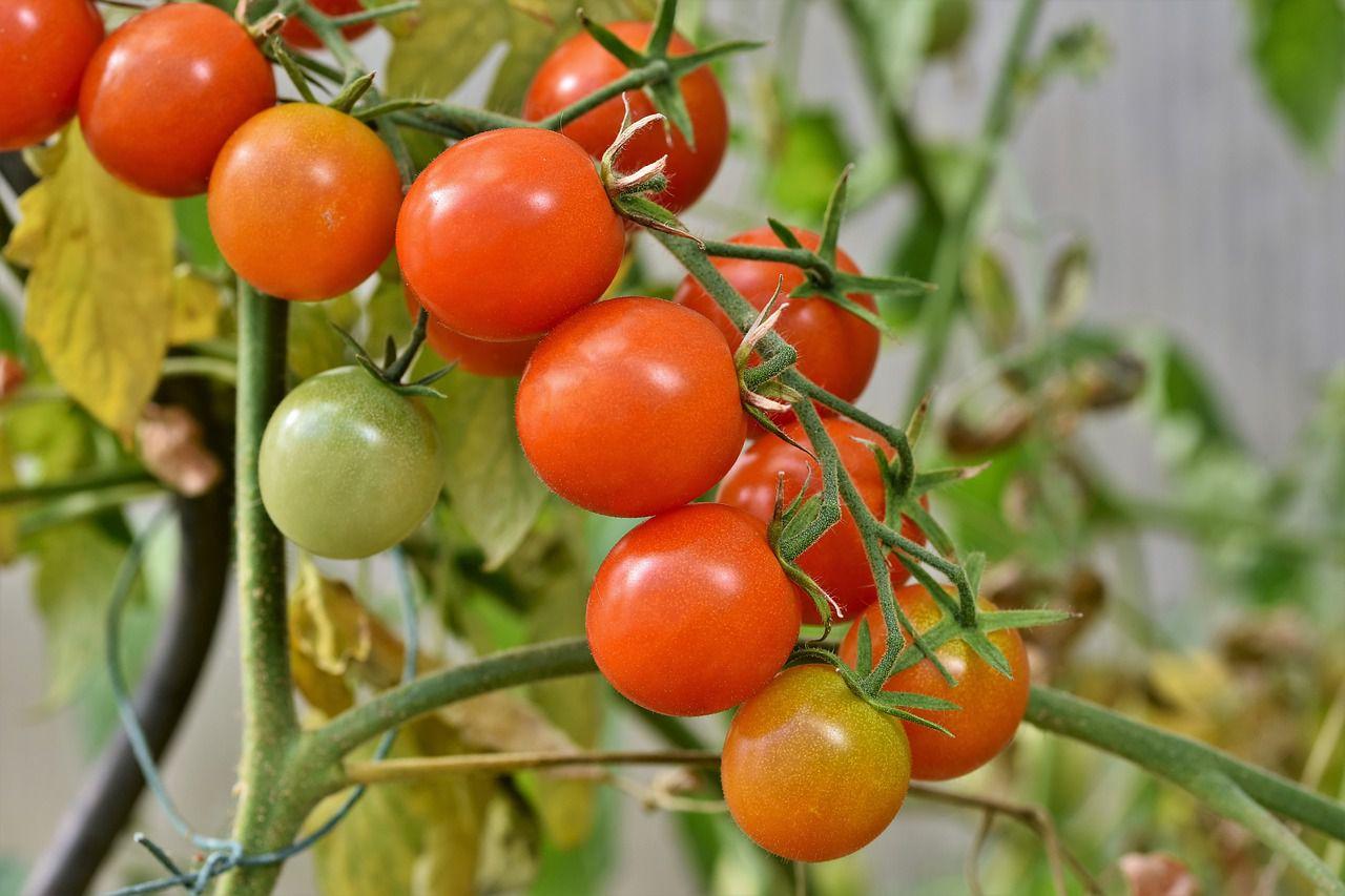 Photo of a tomato plant