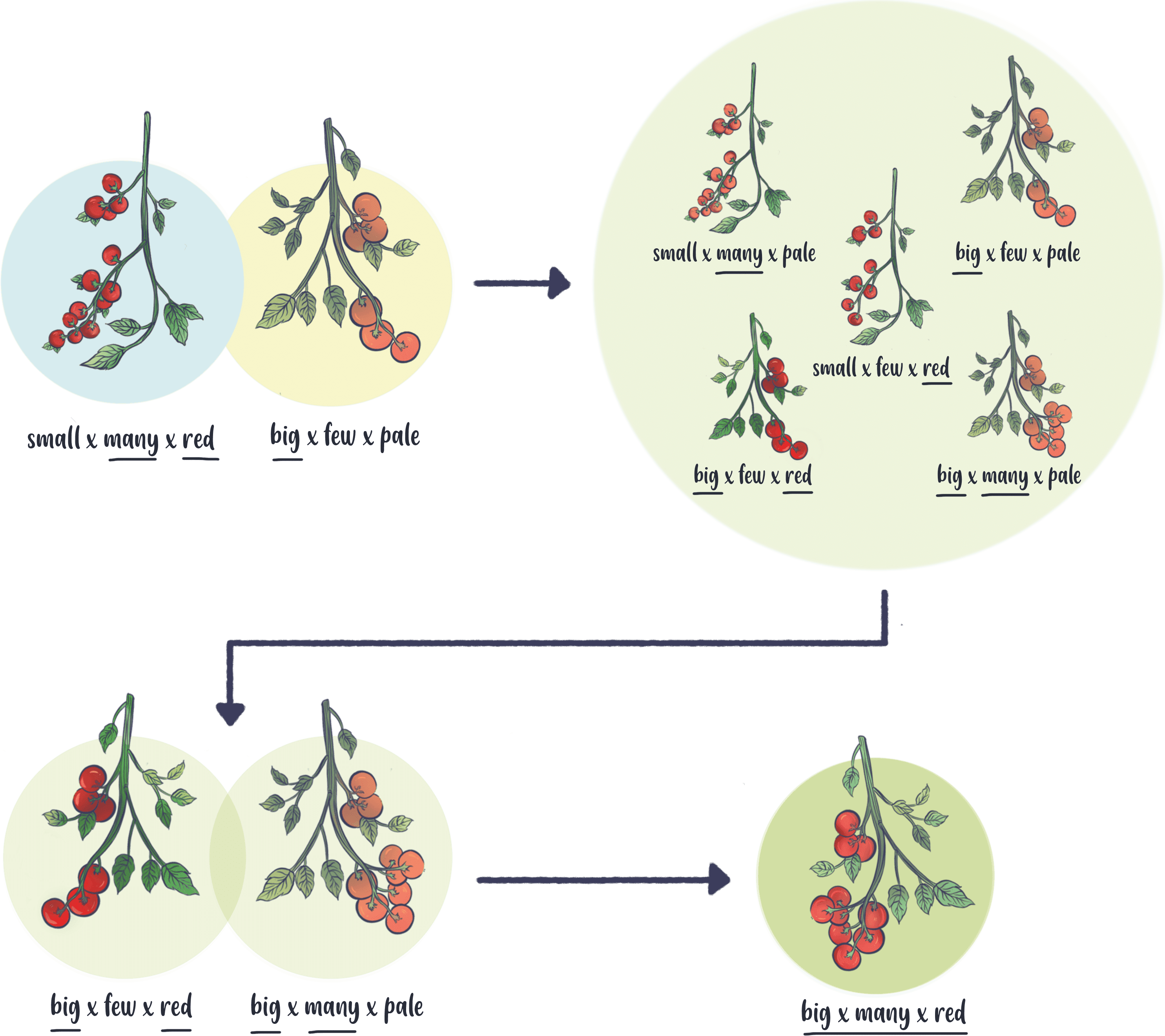 Illustration of selective breeding of tomatoes. Over generations, selecting for the traits you desire changes the genetic make-up of the plant population